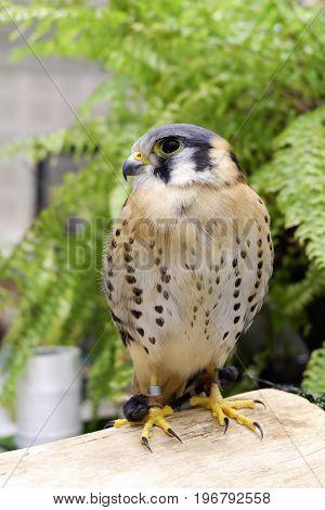 American Kestrel Or Falco Sparverius Was Show In Animal Fair