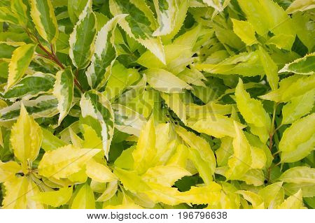 Spindle plant green leaves background texture spring summer