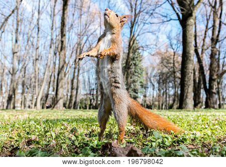 Red Squirrel Standing Upright On Grass Against Blurred Park Background