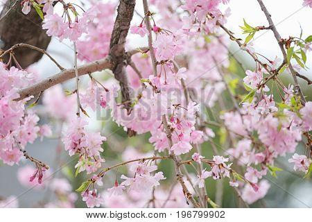 Pink sakura flower in blooming on tree in the japan garden.