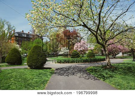 Flowering of trees in a spring park. Blooming magnolias and cherry blossoms in Boston Public Garden