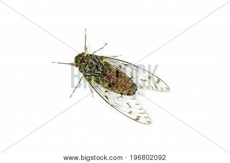 Adult life tropical cicada on white background