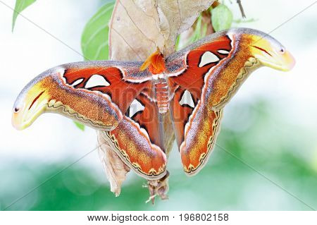 A new adult Atlas moth emerge from the cocoon. Atlas moth (Attacus atlas) is the world largest moths found in the tropical and subtropical forests of Southeast Asia