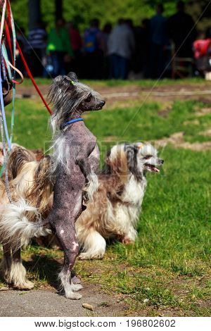 Group of beautiful Chinese Crested dogs on the grass