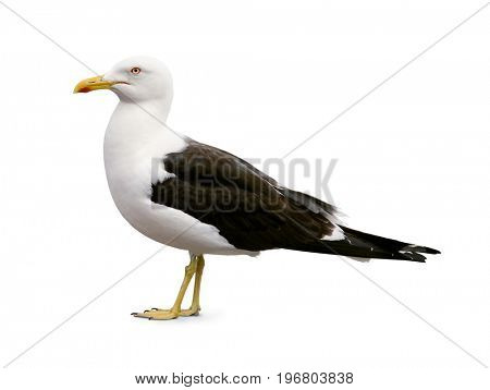 Side view of sea gull isolated on white