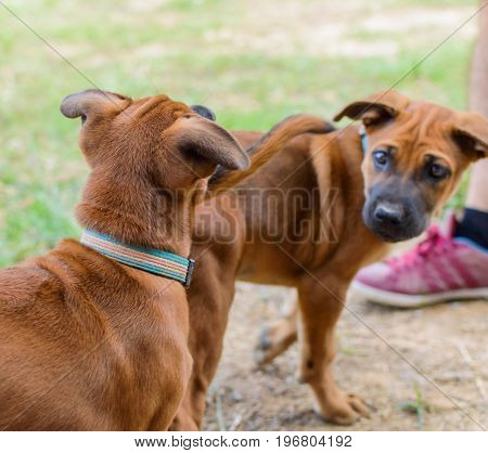 Brown Puppies Playing Outdoor