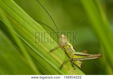 Roesel's bush-cricket - Metrioptera roeselii -is a European bush-cricket. Grasshopper on a leaf of grass. It is distinctively its long antennae. Back background of green color.