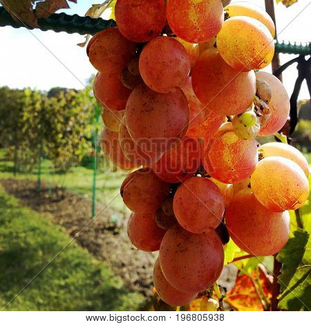 The photography for whole ripe fruit red grape, with green stem leaf.