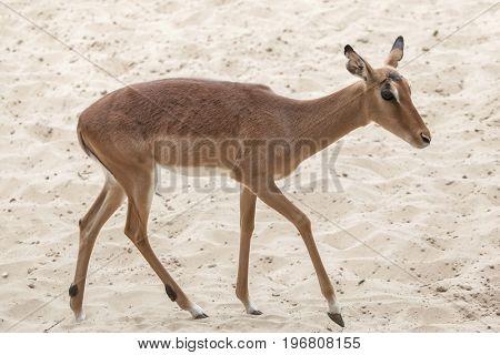 Impala (Aepyceros melampus). Wildlife animal.