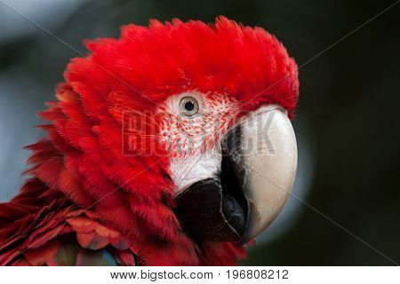 Green-winged macaw (Ara chloropterus), also known as the red-and-green macaw.