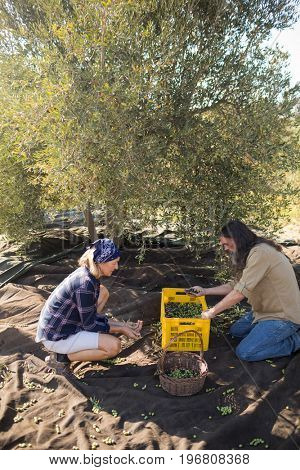 Couple checking olives after harvesting in farm