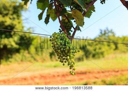 Grape harvest in the vineyards strian countryside
