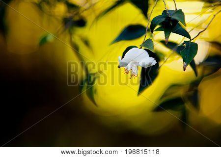 Beautiful Delicate White Flower Of The Theaceae Camellia Tsaii Var Tsaii Plant - Selective Focus Bac