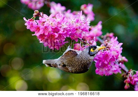Miner Bird Feeding On  Delicate Pink Flowers On Millennium Cherry Tree - Hybrid From The Wild Cherry