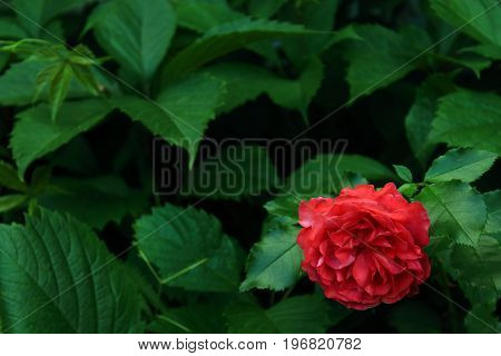 Green Leaves background. Green background with rose. One Red rose on the bush in the garden. Landscaping. Caring for garden shrubs. Wallpaper for desktop