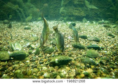 Fishes floating at the bottom of Odra river.