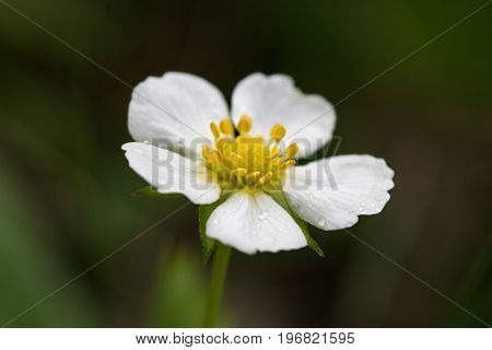 Macro closeup of a Wild strawberry flower (Fragaria vesca)