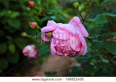 Rose Bush in the garden. Pink and purple roses and buds on the bushes. Landscaping. Caring for garden shrubs. Wallpaper for desktop