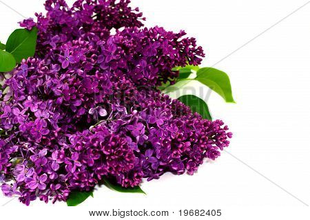 Lilac Flowers Isolated Against White
