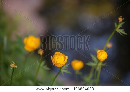 Field of yellow water lilies, yellow, orange flowers. Artistic processing. Summer background. Flower patern