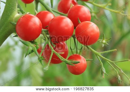 Cherry Tomatoes on the Ripe in Vegetable Garden