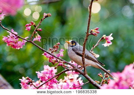 Miner Bird Sitting On Branch With Pink Flowers Of Millennium Cherry Tree - Hybrid From The Wild Cher