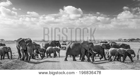Tourists in safari jeeps watching big hird of wild elephants crossing dirt road in Amboseli national park, Kenya. Peak of Mount Kilimanjaro in clouds in background. Black and white.