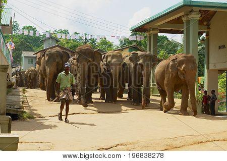 PINNAWALA, SRI LANKA - MAY 18, 2011: Unidentified man walks elephants by the street. Pinnawala in Sri Lanka is famous for Elephant Orphanage.