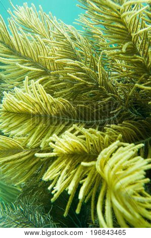 Bipinnate Sea Plume Close Up, Underwater Shoot, Color Image, Blue