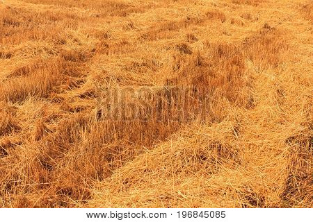 Yellow wheat field after harvesting in Istria. Croatia