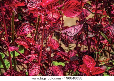Close-up of red odd leaves in the Horto Florestal, near Campos de Jordão, a town famous for its mountain and hiking tourism. Located in the São Paulo State, southwestern Brazil