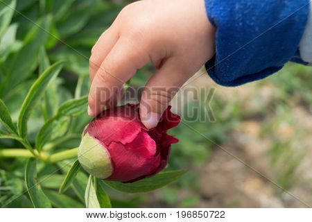Child's hand touches a burgeon of burgundy peony