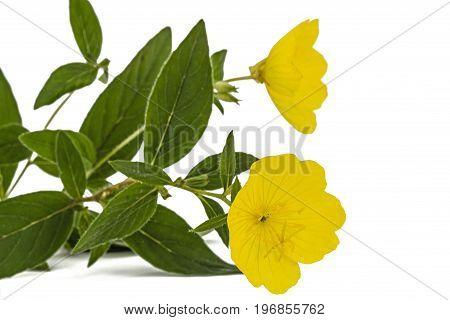 Yellow Flower Of Evening Primrose, Lat. Oenothera, Isolated On White Background