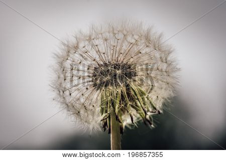 Closeup macro ov an overblown dandelion with all seeds still on flower.