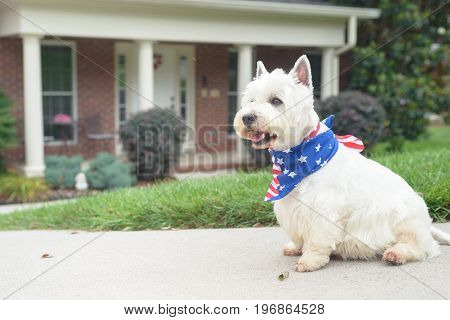 White terrier dog in american flag scarf waiting on driveway of luxury house