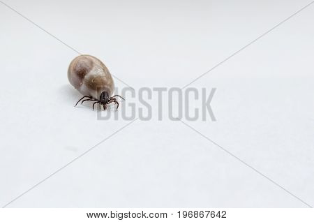 Small tick after drank blood. Seasoning dangerous for people and animals.