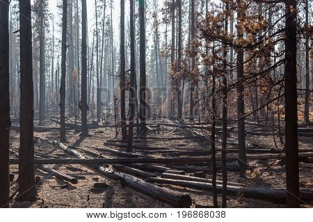 Pine Trees In Forest Fire
