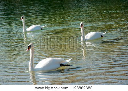 Three swans swimming in a lake in summer