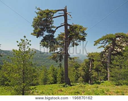 Big Broken Gree Pine With Grassy Mountain And A Blue Sky