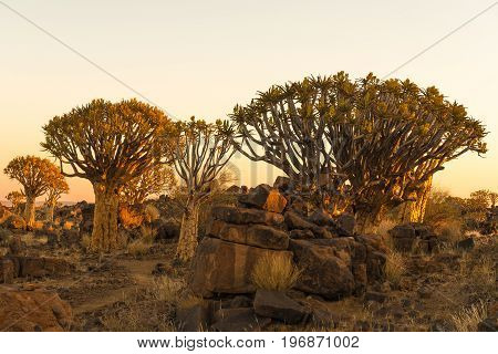 Sunset view of the quiver tree forest at Garas Park Rest Camp near Keetmanshoop on the B1-road to Mariental