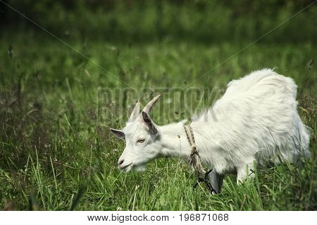 A young goat grazes in a meadow and eating grass