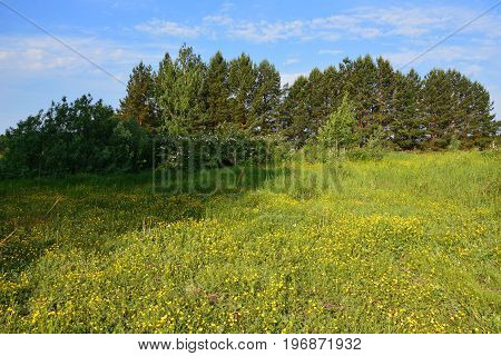 Lush meadow with yellow wildflowers; blue sky and white clouds; wild rose flowers and pines