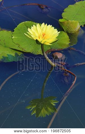 Beautiful yellow waterlily flower with reflection blooming in the pond in summer