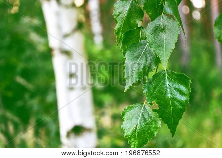 Green birch leaves on a background of the spring landscape.
