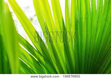 Tropical Palm Leafes Branches Sun Light Natural