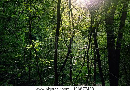 Summer Forest lit by Evening Sun Rays