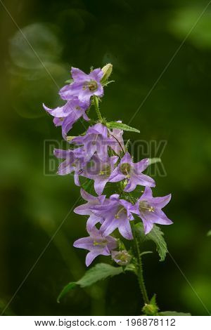A beautiful blue bellflower blossoming in a forest. Vibrant closup with a shallow depth of field.