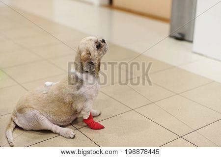 Shih Tzu Dog With Bandage In Hospital