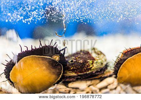 Abalone shellfish seafood in aquarium on display
