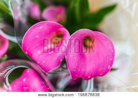 Two Pink Calla Lily Flowers Macro Closeup